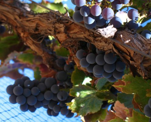 Grenache grapes on vine
