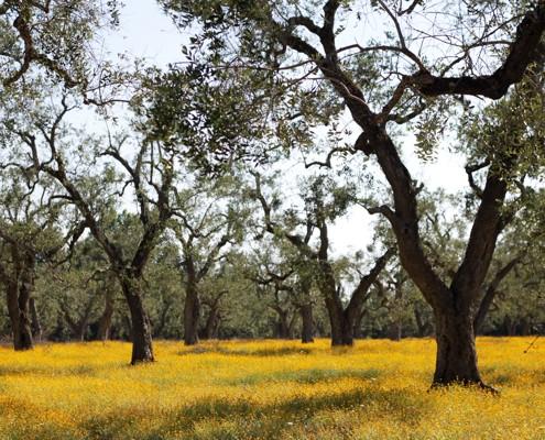 olive trees salento emiko davies