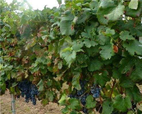 Grapes in Piave, Veneto