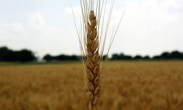 Wheat-spike-600x479