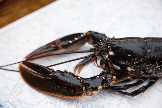 henrik_trygg-lobster-24671