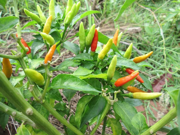 Chile de rbol hot sauce honest cooking for Planta de chile