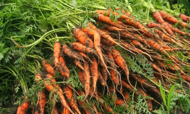 Kelly Way Garden Carrots