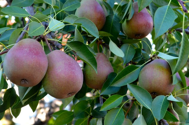 Elegant Pear and Almond Tart
