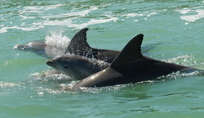 Dolphin Family with Baby
