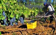 Aldogon-Pinot-Harvest-062xxx2