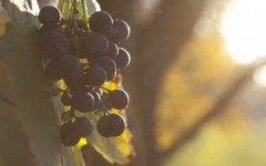 The Evolution of Alsatian Red Wine