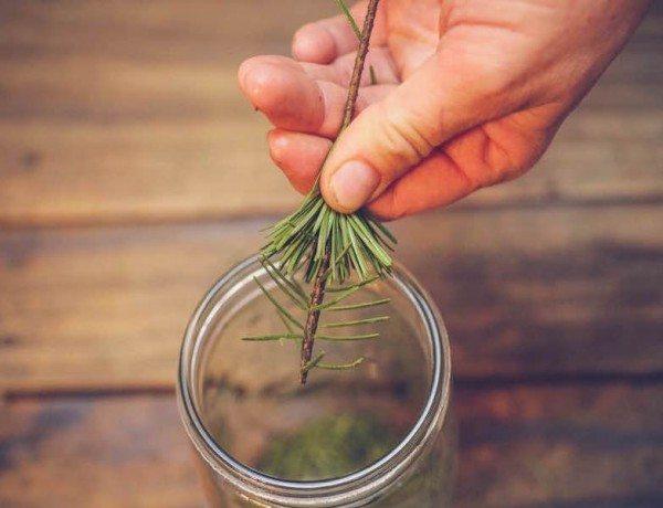 MTFEED_treesyrup_harvestingneedles