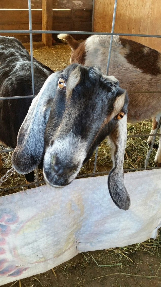 Get Your Goat On with Chevre Cheese Making at Elkhorn Bed and Breakfast